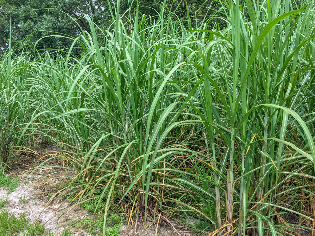 cane field at Sugar Sand Distillery